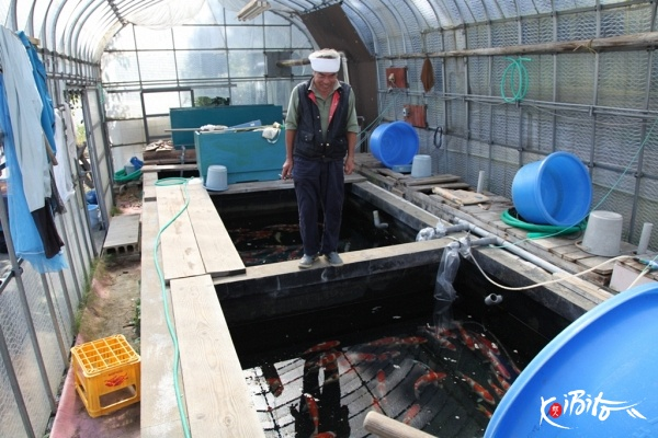 Teradomari breeders koibito japan nishikigoi exporters for Koi farm japan